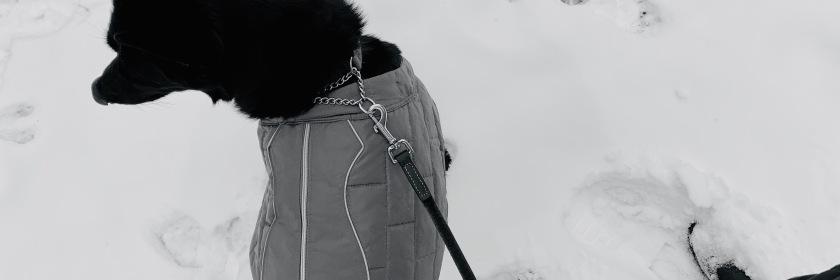 Texas Winter Storm: German Shepherd stands on a leash in the snow